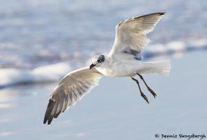 7869 Laughing Gull (Leucophaeus atricilla), Bolivar Peninsula, Texas