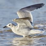 7871 Laughing Gull (Leucophaeus atricilla), Bolivar Peninsula, Texas