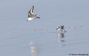 7877 Sanderling (Calidris alba), Bolivar Peninsula, Texas