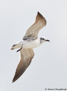 7872 Laughing Gull (Leucophaeus atricilla), Bolivar Peninsula, Texas