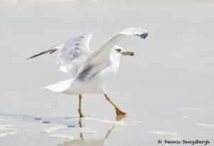 7886 Ring-billed Gull (Larus delawarensis), Bolivar Peninsula, Texas