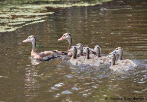 7887 Black-bellied Whistling-Duck (Dendrocygna autumnalis), Shoveler's Pond), Anahuac NWR, Texas