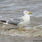 7888 Glaucous Gull (Larus hyperboles), Bolivar Peninsula, Texas