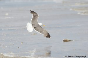 7891 Glaucous Gull (Larus hyperboles), Bolivar Peninsula, Texas
