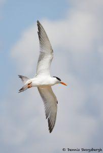 7916 Common Tern (Sterna hirundo), Bolivar Peninsula, Texas