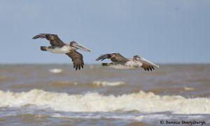 7896 Juvenile Brown Pelican (Pelicanus occidentals), Bolivar Peninsula, Texas, October