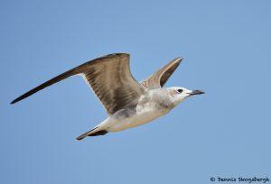 7875 Laughing Gull (Leucophaeus atricilla), Bolivar Peninsula, Texas