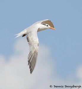 7917 Elegant Tern (Thalasseus elegans), Bolivar Peninsula, Texas