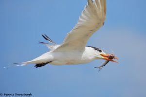 7899 Elegant Tern (Thalasseus elegans), Bolivar Peninsula, Texas