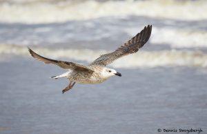 7900 Great Black-backed Gull (Larus marines), Bolivar Peninsula, Texas