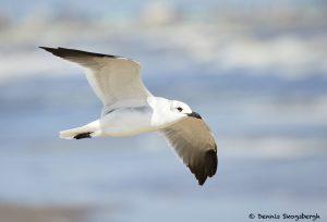 7901 Laughing Gull (Leucophaeus atricilla), Bolivar Peninsula, Texas