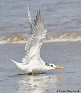 7902 Elegant Tern (Thalasseus elegans), Bolivar Peninsula, Texas