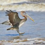 7903 Juvenile Brown Pelican (Pelicanus occidentals), Bolivar Peninsula, Texas