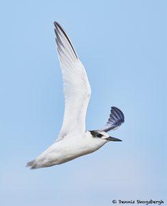 7904 Common Tern (Terna hirundo), Bolivar Peninsula, Texas
