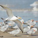 7907 Laughing Gull (Leucophaeus atricilla), Bolivar Peninsula, Texas