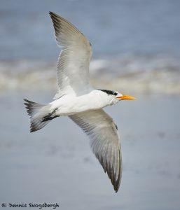 7908 Elegant Tern (Thalasseus elegans), Bolivar Peninsula, Texas