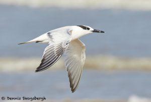 7909 Sandwich Tern (Thalasseus sandvicensis), Bolivar Peninsula, Texas