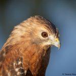 7935 Red-shouldered Hawk (Buteo lineatus), Blackland Prairie Raptor Center, Texas