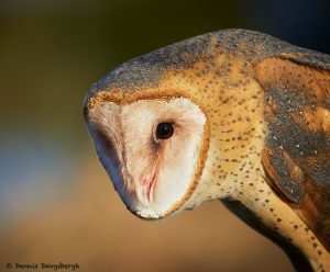 7931 Barn Owl (Tyto alba), Blackland Prairie Raptor Center, Texas