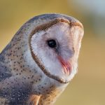 7932 Barn Owl (Tyto alba), Blackland Prairie Raptor Center, Texas