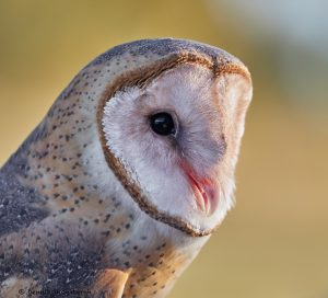 7932 Barn Owl (Tyto alba), Blackland Prairie Raptor Center, Texas