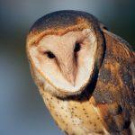 7934 Barn Owl (Tyto alba), Blackland Prairie Raptor Center, Texas
