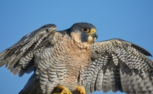 7918 Peregrine Falcon (Falco peregrinus), Blackland Prairie Raptor Center, Texas