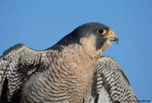 7919 Peregrine Falcon (Falco peregrinus), Blackland Prairie Raptor Center, Texas
