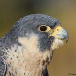 7920 Peregrine Falcon (Falco peregrinus), Blackland Prairie Raptor Center, Texas