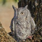 7924 Eastern Screech Owl (Megascops asio), Blackland Prairie Raptor Center, Texas