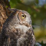 7925 Great Horned Owl (Bubo virginianus), Blackland Prairie Raptor Center, Texas