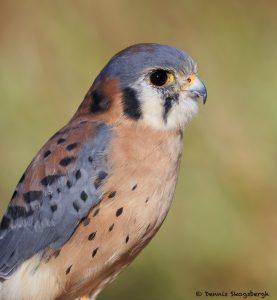 7926 Great Horned Owl (Bubo virginianus), Blackland Prairie Raptor Center, Texas