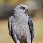 7923 Mississippi Kite (Ictinia mississippiensis), Blackland Prairie Raptor Center, Texas