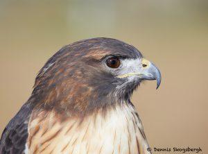 7927 Red-tailed hawk (Buteo jamaicensis), Blackland Prairie Raptor Center, Texas