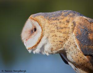 7928 Barn Owl (Tyto alba), Blackland Prairie Raptor Center, Texas
