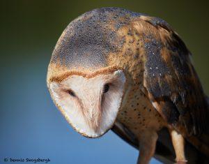 7929 Barn Owl (Tyto alba), Blackland Prairie Raptor Center, Texas