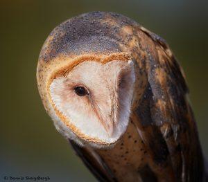 7930 Barn Owl (Tyto alba), Blackland Prairie Raptor Center, Texas
