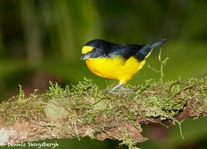 8031 Yellow-throated Euphonia (Euphonia lamiirostris), Arenal Oasis Lodge, Costa Rica