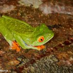 8015 Red-eyed Green Tree Frog (Agalychnis callidryas), Arenal Oasis Lodge, Costa Rica