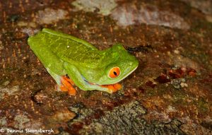 8015 Red-eyed Green Tree Frog (Agalychnis callidryas), Arenal Oasis Lodge, Costa Rica