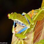 8016 Red-eyed Green Tree Frog (Agalychnis callidryas), Arenal Oasis Lodge, Costa Rica