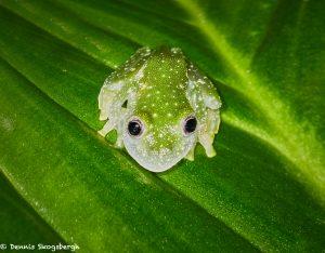 8017 Fleischmann's Glass Frog (Hyalinobatrachium fleischmanni), Arenal Oasis Lodge, Costa Rica