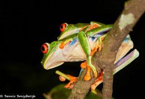 8018 Red-eyed Green Tree Frog (Agalychnis callidryas), Arenal Oasis Lodge, Costa Rica