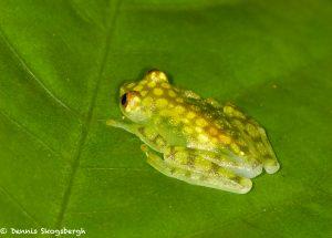 8019 Reticulated Glass Frog (Hyalinobatrachium valerioi), Arenal Oasis Lodge, Costa Rica