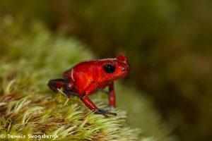 8009 Strawberry Poison Dart Frog (Dendrobates pumillo), Laguna del Lagarto Lodge, Costa Rica