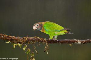 8026 Brown-hooded Parrot (Pionopsitta haematotis), Laguna del Lagarto Lodge, Costa Rica