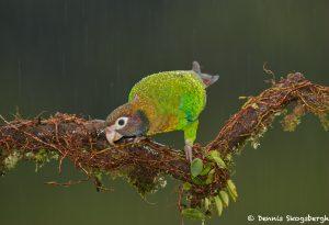 8007 Brown-hooded Parot (Pionopsitta haematotis), Laguna del Lagarto, Costa Rica