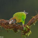 8025 Brown-hooded Parrot (Pionopsitta haematotis), Laguna del Lagarto Lodge, Costa Rica