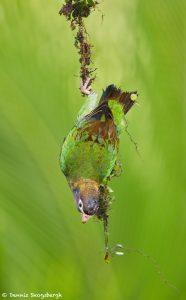 8006 Brown-hooded Parot (Pionopsitta haematotis), Laguna del Lagarto, Costa Rica