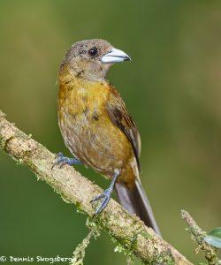 8008 Grayish Saltator (Saltatore coerulescens), Laguna del Lagarto, Costa Rica